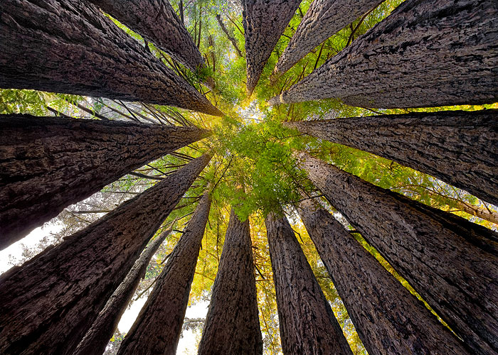 """Redwood Cathedral"", Sean O'Gara, 2013.Via SavetheRedwoods.org."